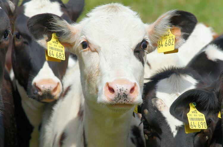 21102019 Rinder Symbolbild
