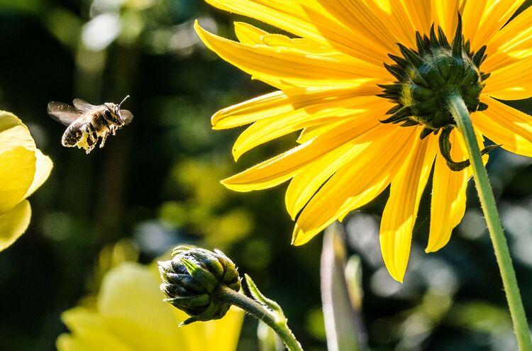 Biene Natur