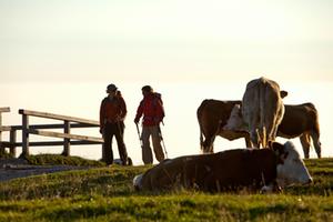 Kühe Wanderer