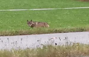 Wolf Sachrang